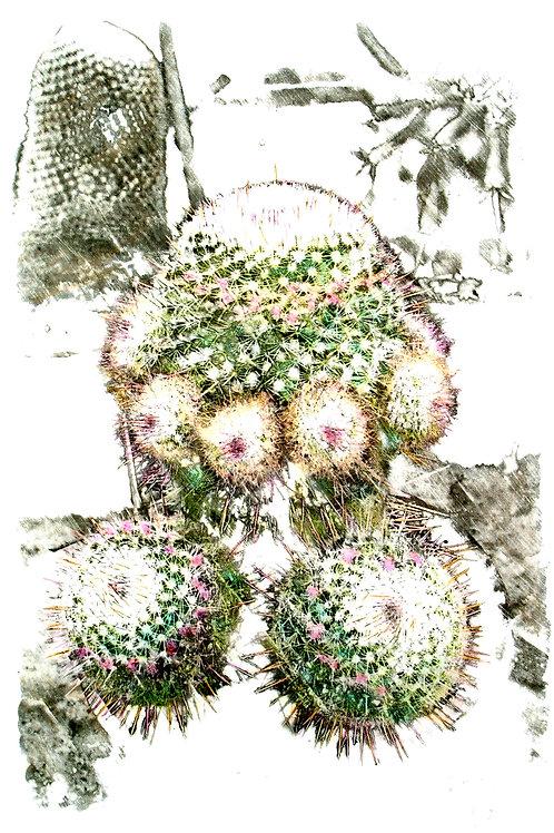 Cactus Mammillaria, by Leith Semmens.