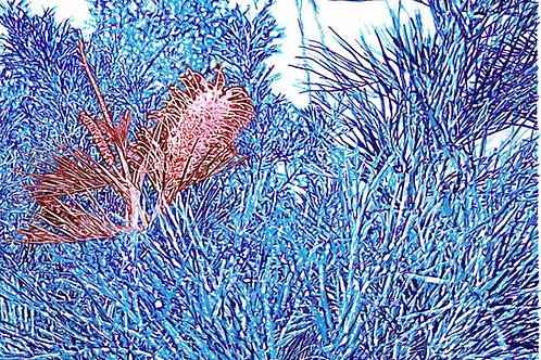 Red and Blue Grevillea, by Leith Semmens