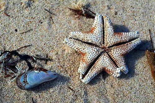 Carrickalinga Starfish, by Leith Semmens