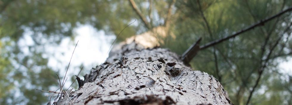 pine tree 12-5-15.jpg