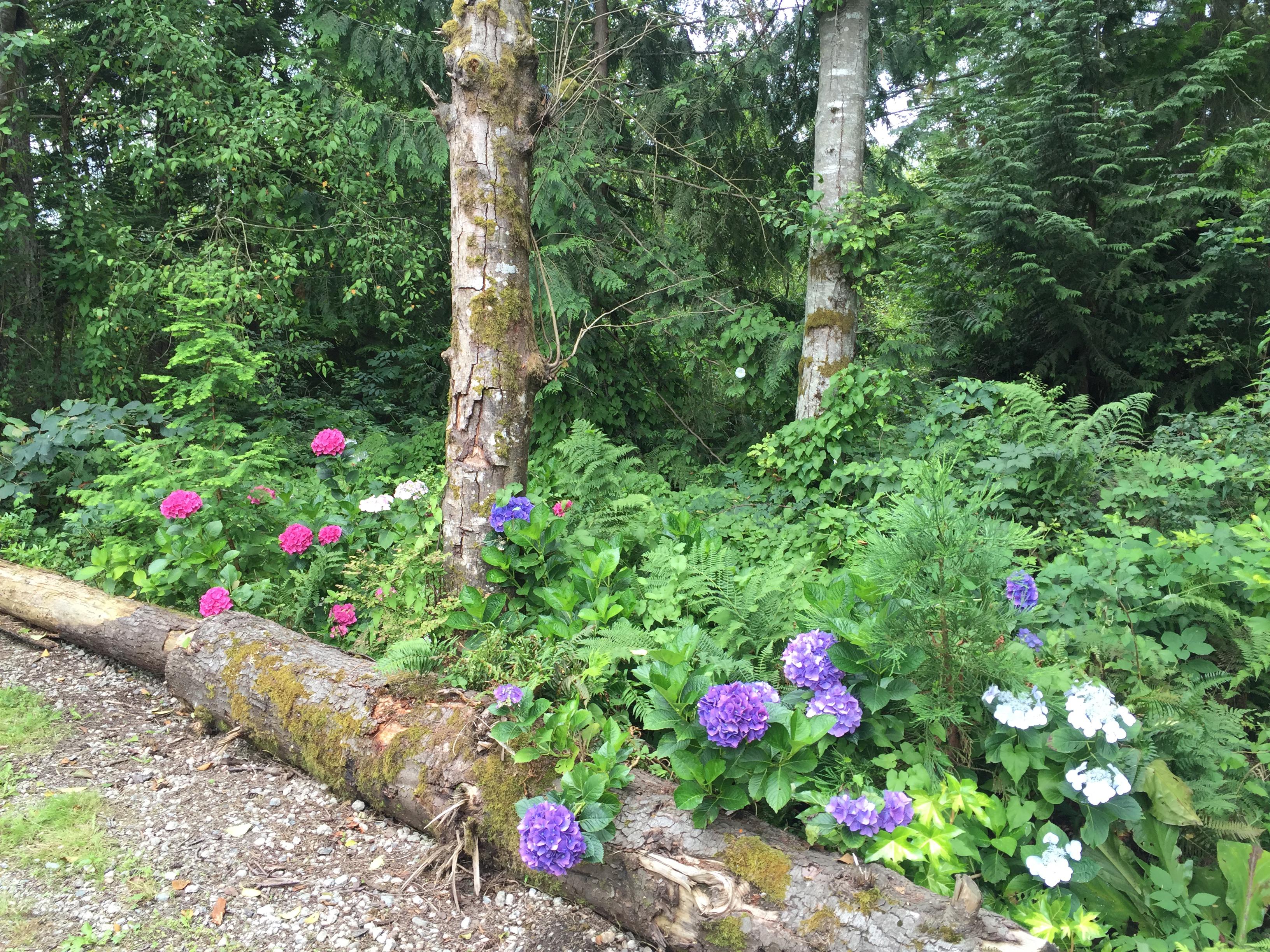 July Hydrangeas