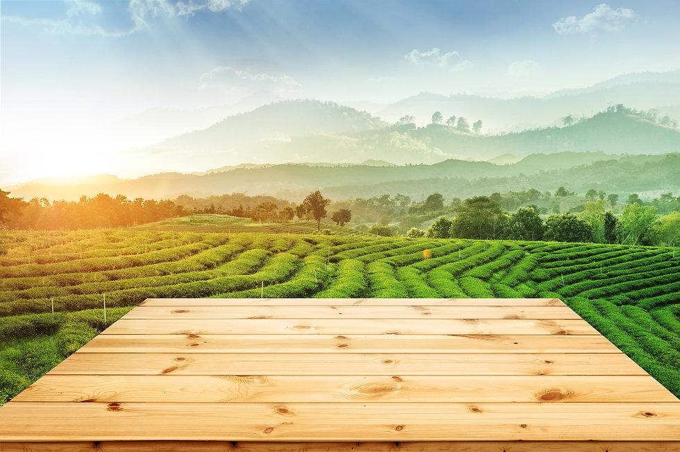 Tea plantation and mountain panorama vie