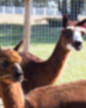alpacas 3.jpg