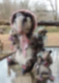 Possum 5jpg.jpg