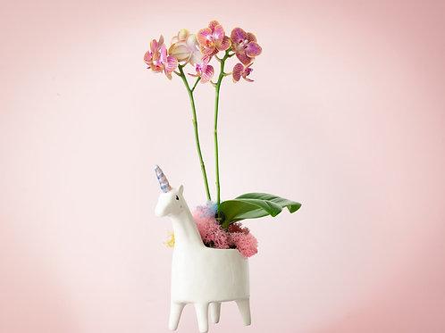 Unicorn Orchid Pride