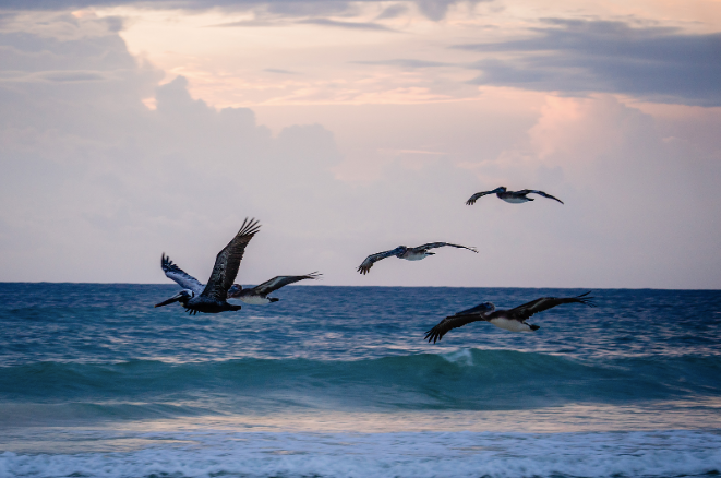 The birds flying at sunset on the beach in Tulum.