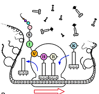 mRNA SEP.png