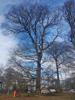 Oak Dead Wooding