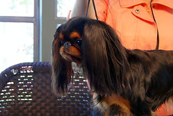 Caledonia English Toy Spaniel