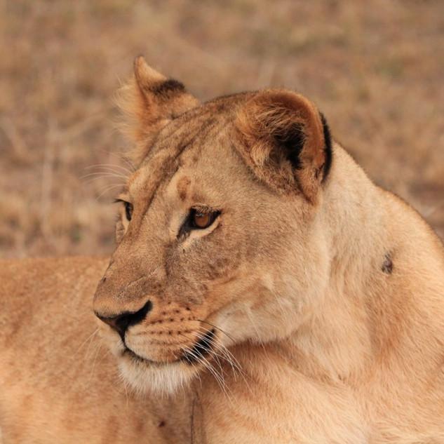 Lioness Mara North .jpg