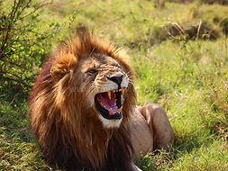 kenya-lion.jpg