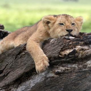 Lion Cub Bushtops Camps.jpg