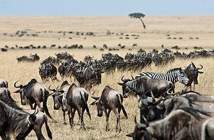 Karen-Blixen-Camp_wildebeest_zebras.jpg