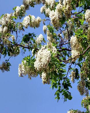 Acacia_(flower)_IMG_0834_1725.jpg