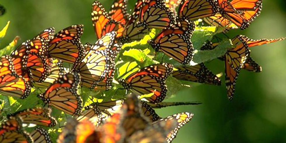 Mariposa Monarca 2020