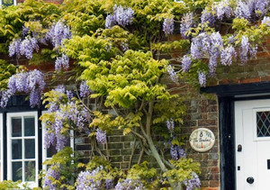 Wisteria growing on a wall