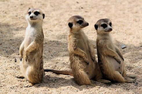 Funny meerkats_edited_edited.jpg