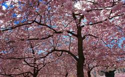 cherry-trees-2254137_1920