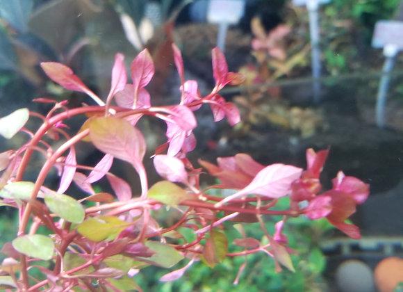 紅丁香 (10枝)
