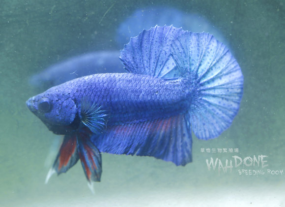 半月將軍 (藍色) (圖片供參考)