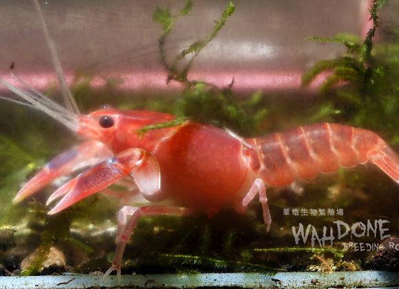 火山破壞者螯蝦 (大型螯蝦) (隻)