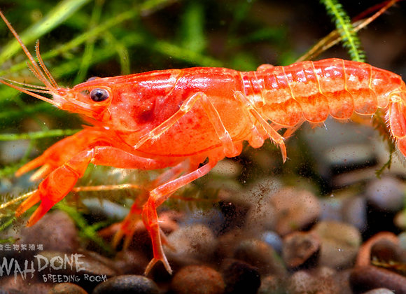 橙迷你螯蝦 (公母一對)