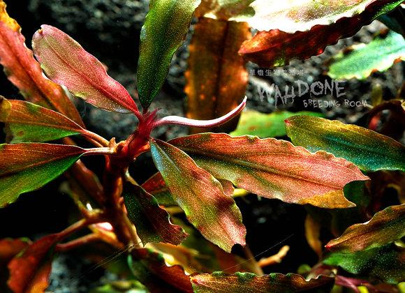 motleyana brown red