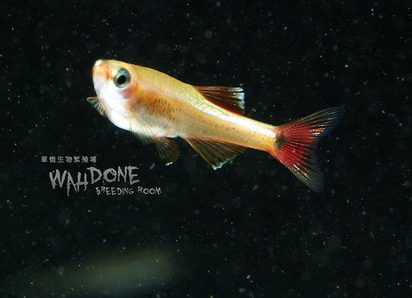 白化白雲山鰷魚