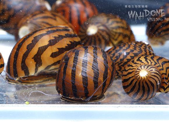 斑馬螺(40隻)