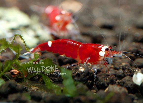 聖誕老人紅水晶蝦