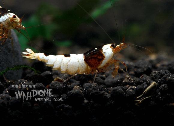 黑白日之丸水晶蝦