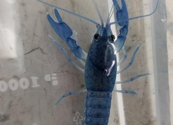 天空藍螯蝦 (大螯)(一對)