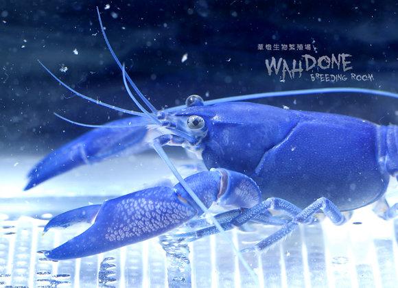 天空藍螯蝦 (大螯) (6cm-8cm 亞成體) (公母一對)