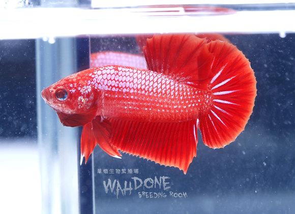 半月將軍 (紅色) (圖片供參考)