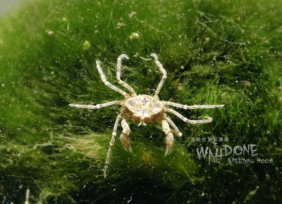 泰國迷你蜘蛛蟹 (純淡水,可全浸水飼養)