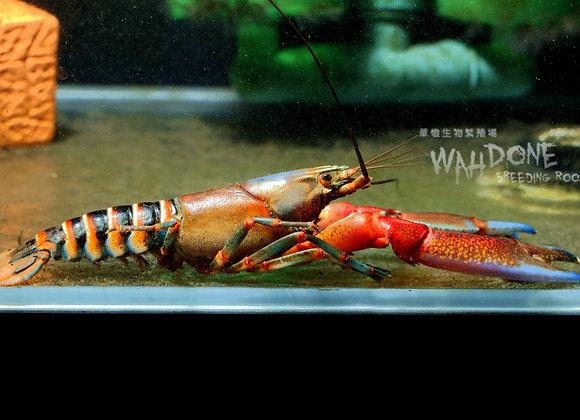 彩虹斑馬螯蝦 (大螯)(公母對蝦)