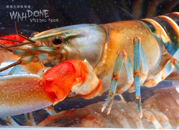 彩虹斑馬螯蝦 (大螯)(一公一母)(亞成體)