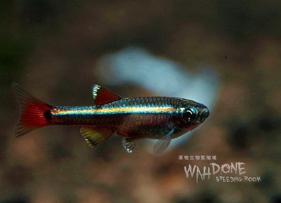 白雲山鰷魚