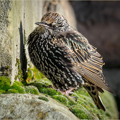 Starling in Winter Plumage