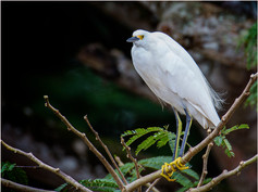 4_Snowy Egret