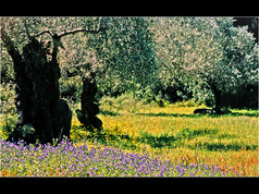 1998 'The Olive Grove' by Ken Brendon