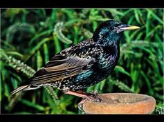 2005 'Starling in the Garden' by Ken Brendon