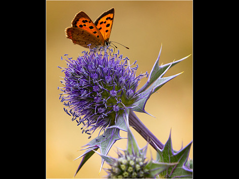 3_Small Copper on Sea Holly
