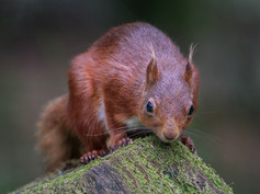 4_Red Squirrel
