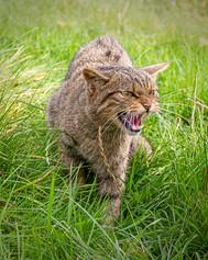 3_Scottish Wild Cat