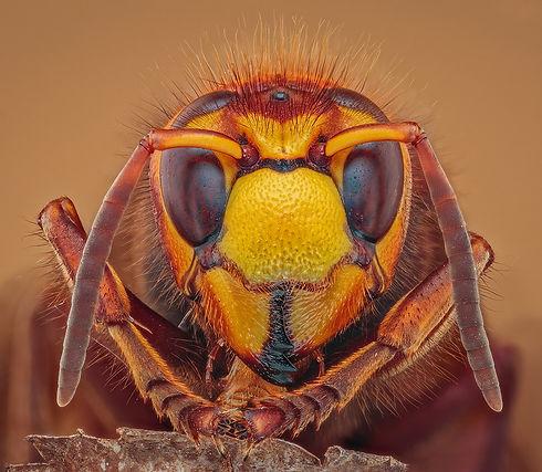 Hornet Portrait.jpg