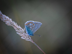 2_Common Blue
