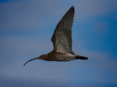 2_Curlew