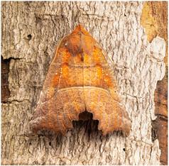 Herald Moth Paul Niholas