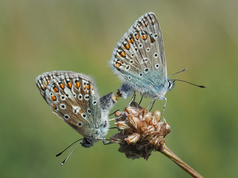 2_Mating Common Blues